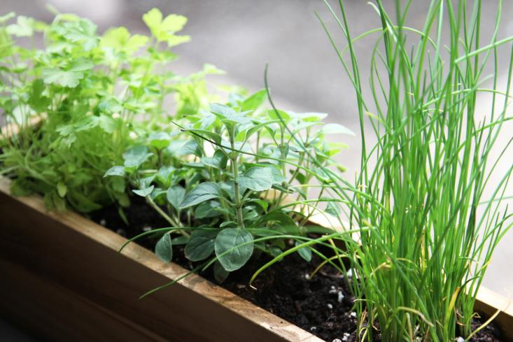 6 Herbs You Should Grow in Your Garden - An Apple a Day