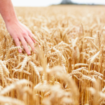 FREE screening of What's With Wheat documentary