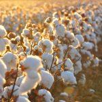 Cotton-Field-1600x800