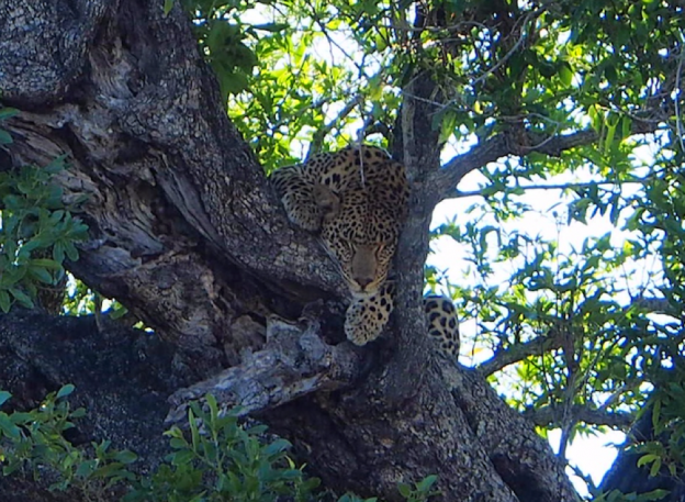 Book a Safari - An Apple a Day - Leopard