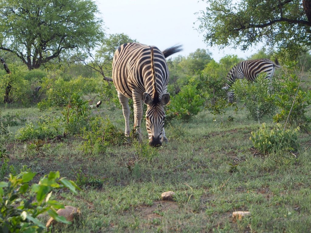 Book a Safari - An Apple a Day - Zebra